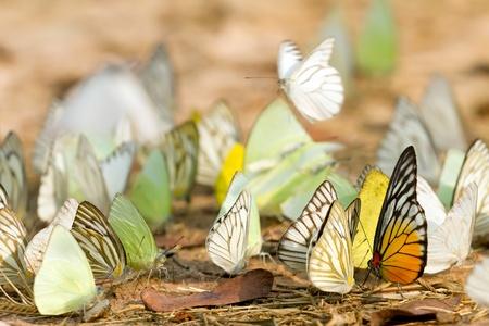 many pieridae butterflies gathering water on floor, kaeng krachan national park, thailand