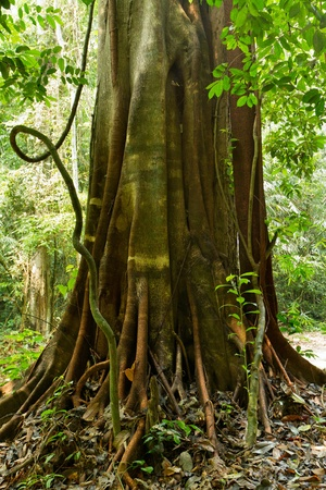 twisted: big fig tree roots and trunk in tropical rainforest, thailand