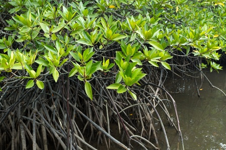 swamps: mangrove tree leaves and roots in tropical swamp, thailand Stock Photo