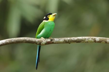 kaeng: colorful bird long tailed broadbill on tree branch, kaeng krachan national park, thailand