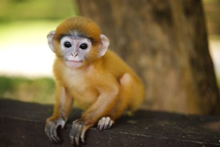 baby animals: young dusky leaf monkey langur looking at camera, thailand Stock Photo