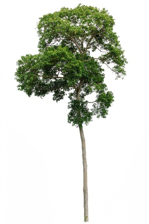 tropical rainforest tree isolated on white background Stock Photo - 12764529