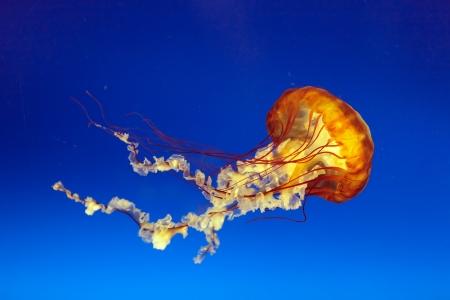 osaka: orange bell jellyfish in osaka aquarium, Japan Stock Photo