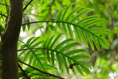 Philodendron leaves in tropical rainforest photo