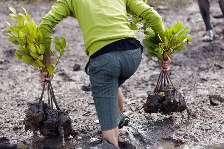 forestation: man walking in mud for planting young mangrove tree, Satun, thailand