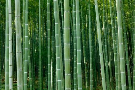 japones bambu: Arashiyama Bamboo Forest, Kyoto, Jap�n
