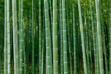 arashiyama bamboo forest, Kyoto, Japan photo