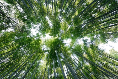 dynamic wide angle view of bamboo forest in Japan