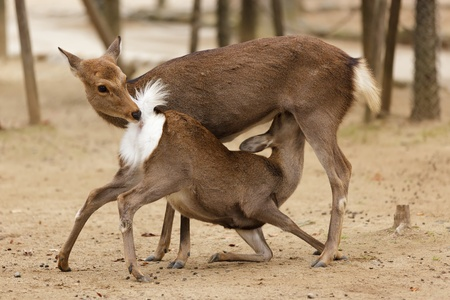 two deers in indecent sexual position in Nara park, Japan Stock Photo - 12946277