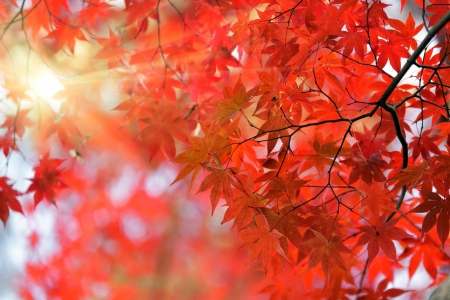 japanese red maple tree background with sunlight, Kyoto