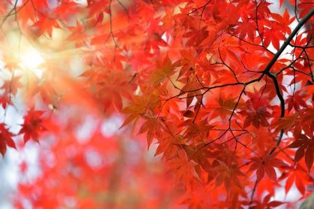 Japanische Rote Ahornbaum Hintergrund mit Sonnenlicht, Kyoto