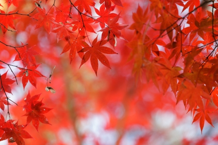 japanese red maple tree background during fall season, Kyoto, Japan photo