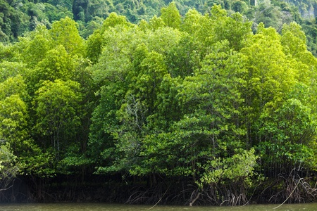 large mangrove forest in south Thailand photo