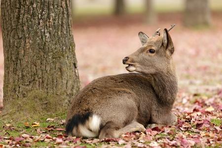 nara park: cute deer lying near tree in autumn season, Nara park, Kyoto, Japan Stock Photo