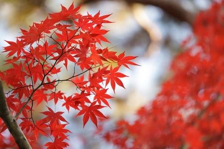 красные кленовые листья в саду японского дзен