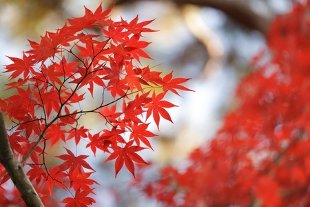 japanese fall foliage: red maple leaves in japanese zen garden
