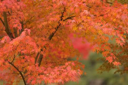 orange maple tree in japanese park photo