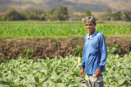 tobacco plants: thai asian farmer standing in tobacco field in north Thailand