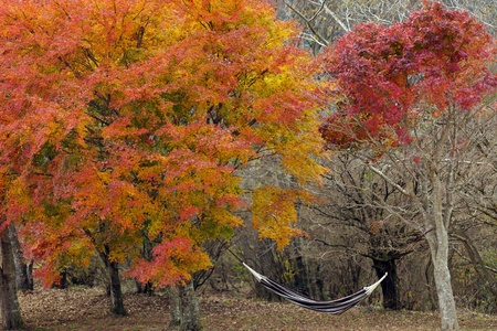 hammock and two japanese maples in autumn photo
