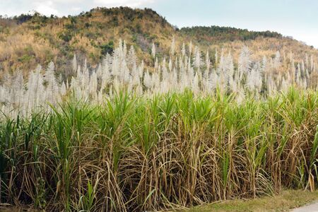 sugar cane field in north Thailand photo