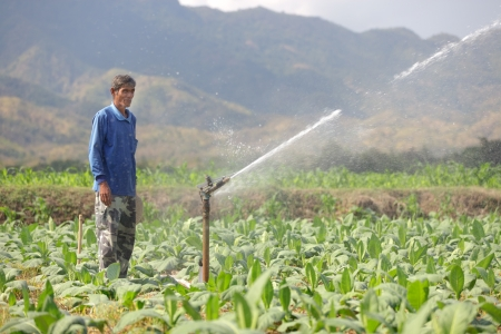 thai farmer watering tobacco field in north Thailand photo