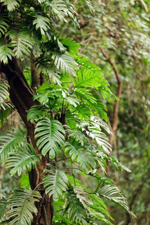 monstera leaf: Philodendron climbing on tree in tropical rainforest, ko phi phi island, Thailand