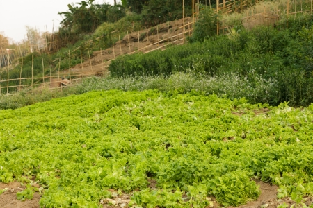 organic salads in wild kitchen garden, Laos photo