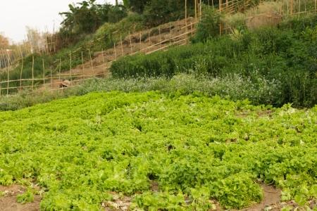 organic salads in wild kitchen garden, Laos photo