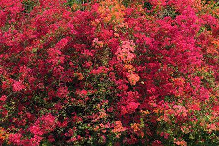 bougainvillea: big bougainvillea blossom in tropical climate