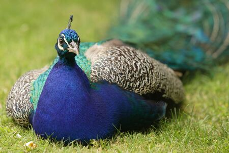 phasianidae: blue indian peacock Pavo cristatus lying in meadow