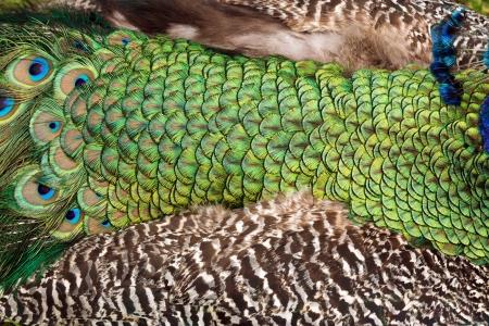 phasianidae: Indian peacock Pavo cristatus wings background
