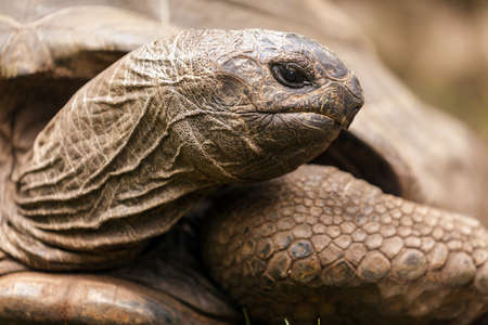 spurred: African spurred turtle Centrochelys sulcata head closeup