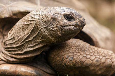sulcata: African spurred turtle Centrochelys sulcata head closeup