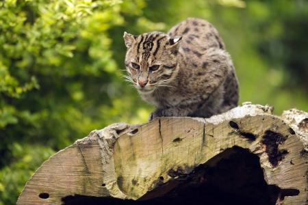 prionailurus: Asian fishing cat  Prionailurus viverrinus standing on tree trunk
