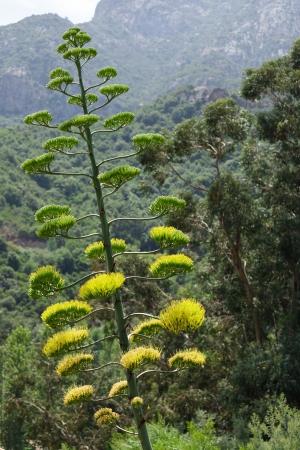 paisaje mediterraneo: Flor de la planta de agave en el paisaje mediterr�neo