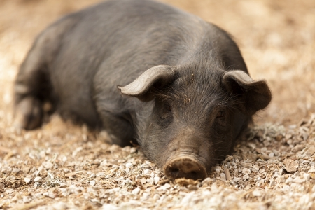 portrait of wild pig lying in forest ground photo