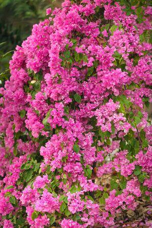 bougainvillea: large pink bougainvillea plant  under  tropical climate Stock Photo