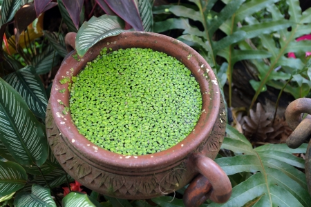 aquatic plant: duckweed plant floating in water pot