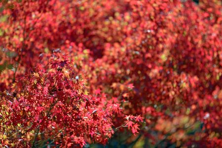red maple tree in autumn, Japan photo