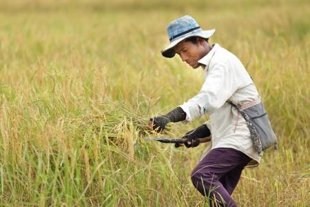 guadaña: Agricultor cosecha de arroz en Tailandia