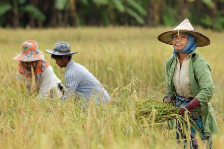 Birmese boer oogsten rijst in Thailand Stockfoto