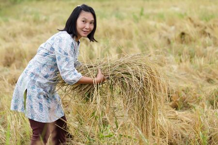 Farmer woman harvesting rice in Thailand photo