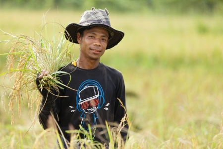 Man harvesting rice in Thailand photo