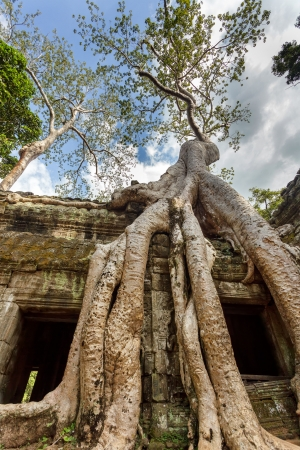 Banyan tree roots over Ta Prohm temple, Angkor, Cambodia photo