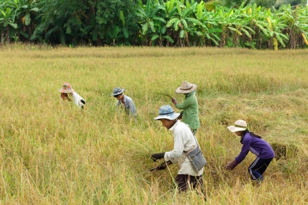 Farmer family harvesting rice in Thailand.