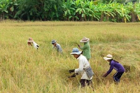 Farmer family harvesting rice in Thailand.