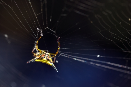weavers: Spiny orb weavers spider