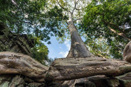 Banyan tree in Ta Prohm temple, Angkor, Cambodia photo