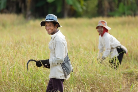 guadaña: Trabajadores de la cosecha de arroz en campo, Tailandia