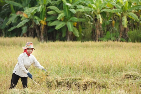 guadaña: Burmese Mujer cosecha de arroz en el campo, Tailandia